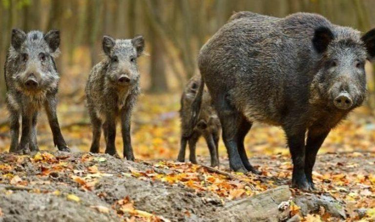 Afrykański pomór świń wykryty w Kowanówku