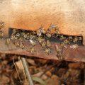 Pszczoły polubią ziemię rogozińską
